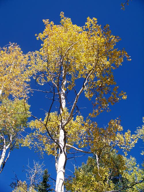 Golden Aspen along FS 300U