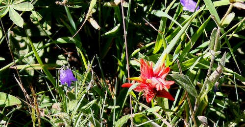 Harebell and Paintbrush