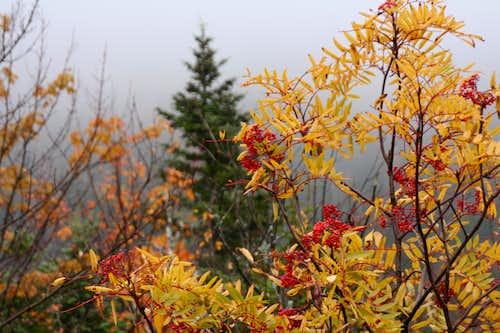 Rowan / Sorbus / Mountain Ash