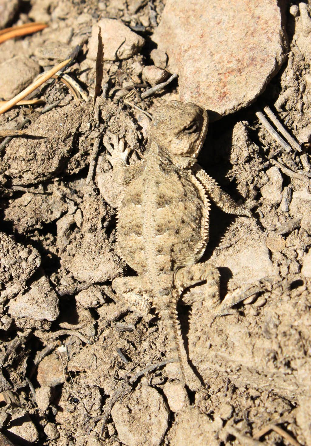 Horny toad