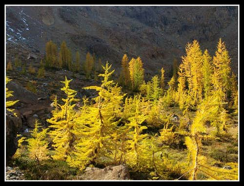 Ingalls Pass Larch