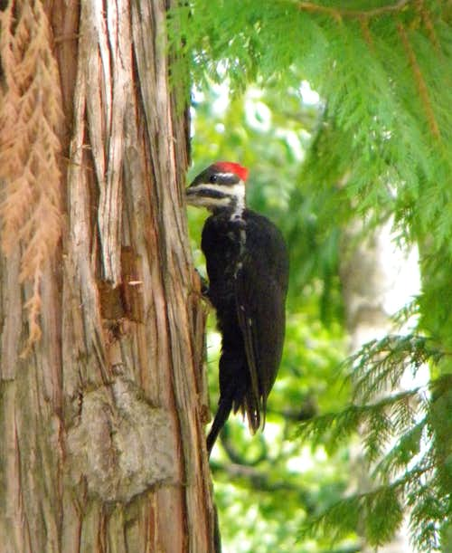 Feeding Pileated