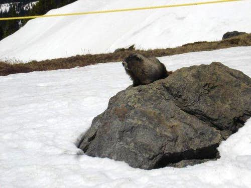 Marmots are pretty sweet...
