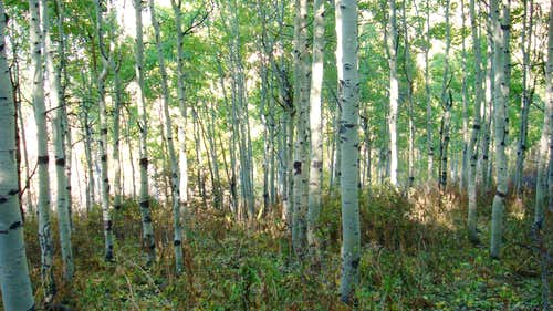 Aspens on the way to Maple Mountain