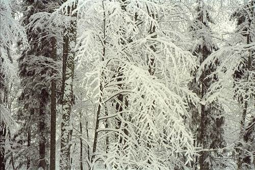 Tree frost - Bavaria