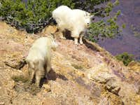 Mountain Goats on Wildcat Ridge