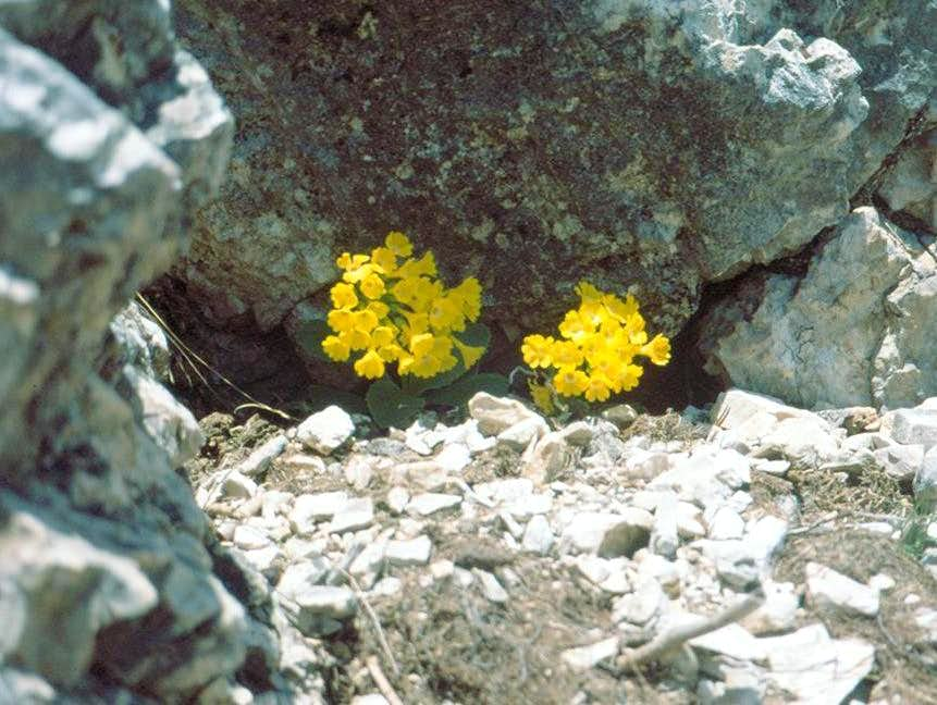 PLANTS OF DOLOMITES