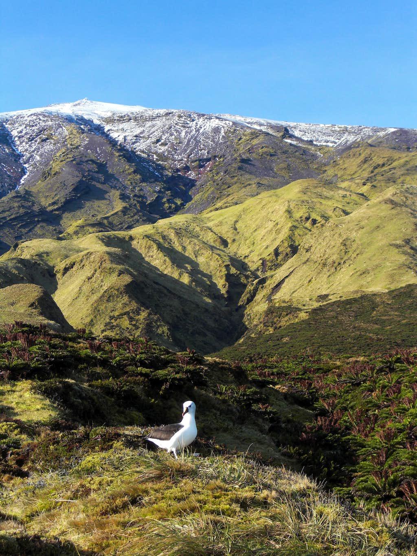 An Albatross protecting the Peak