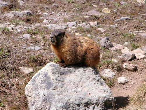 A friendly marmot resting on...