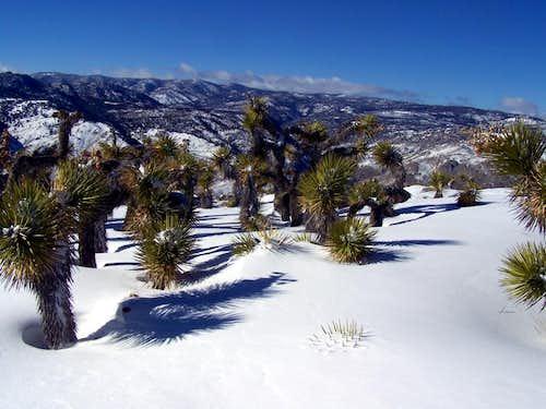 Snow Covered Joshua Trees on Mayan Peak