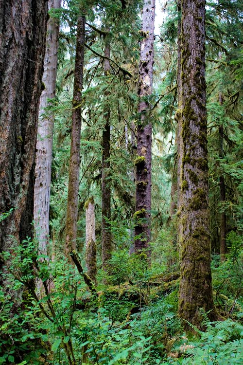 Tall Trees and Mosses