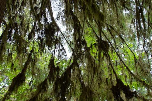 Crisscross Spike Moss