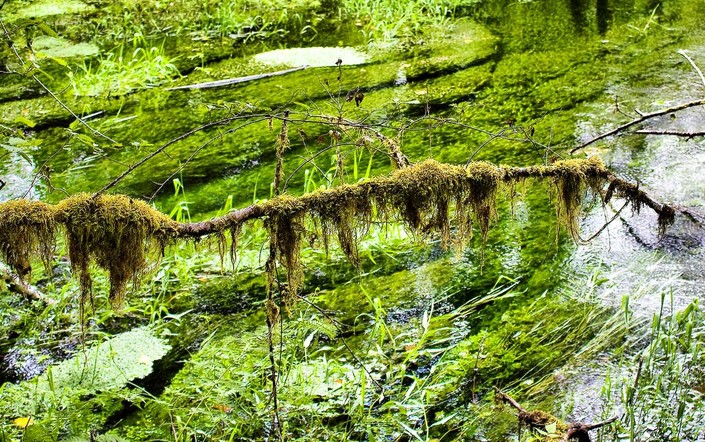 Club Moss Hanging Over the Stream