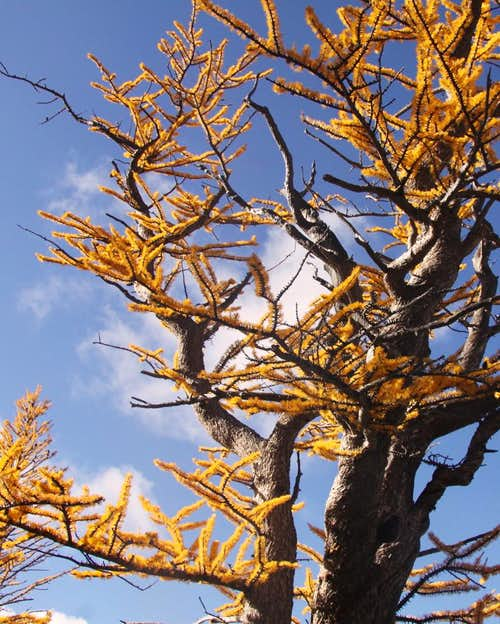 Larch tree in October brilliance