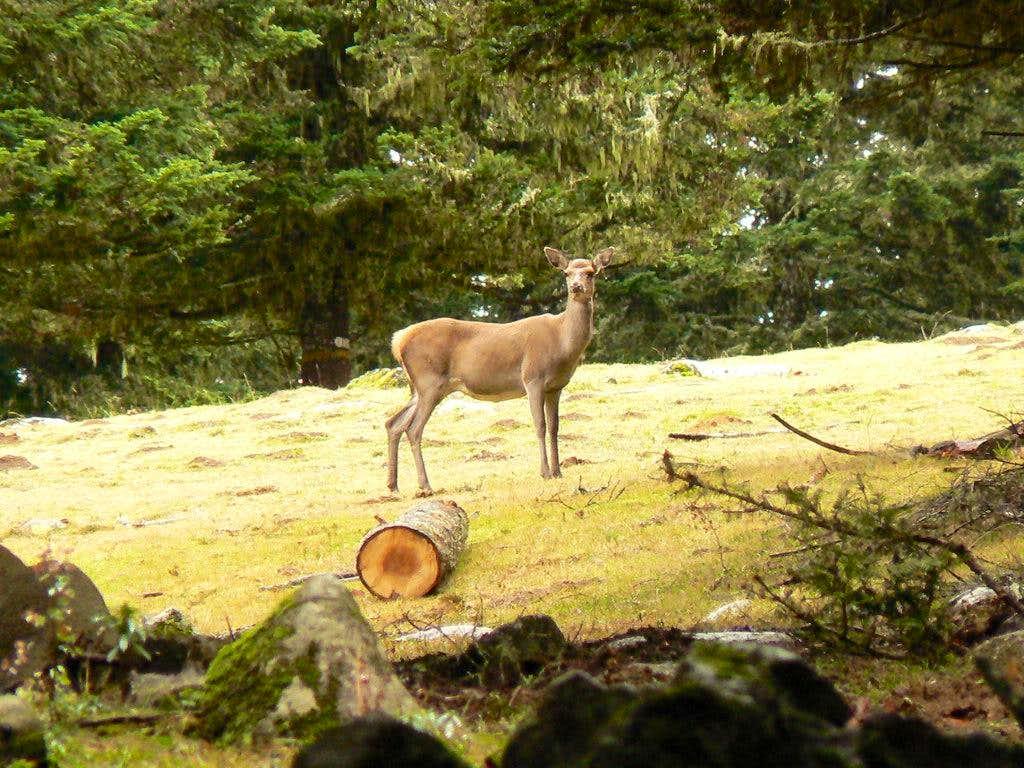 Deer near Arrieu Tort