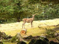 Deer near Arrieu Tort
