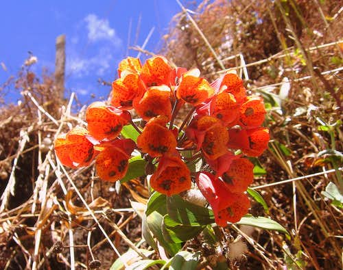 Ashpa coral - Bomarea hirsuta