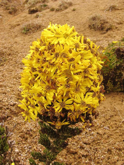 Pappobolus imbaburensis 1