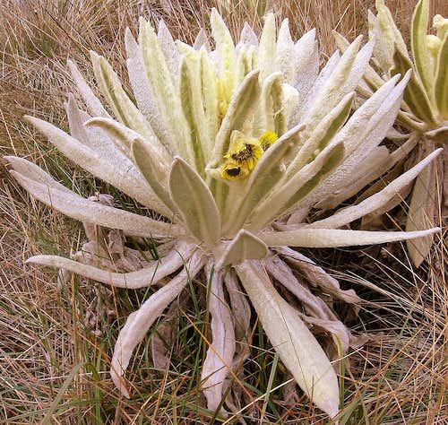 Frailejon - Espeletia pycnophylla