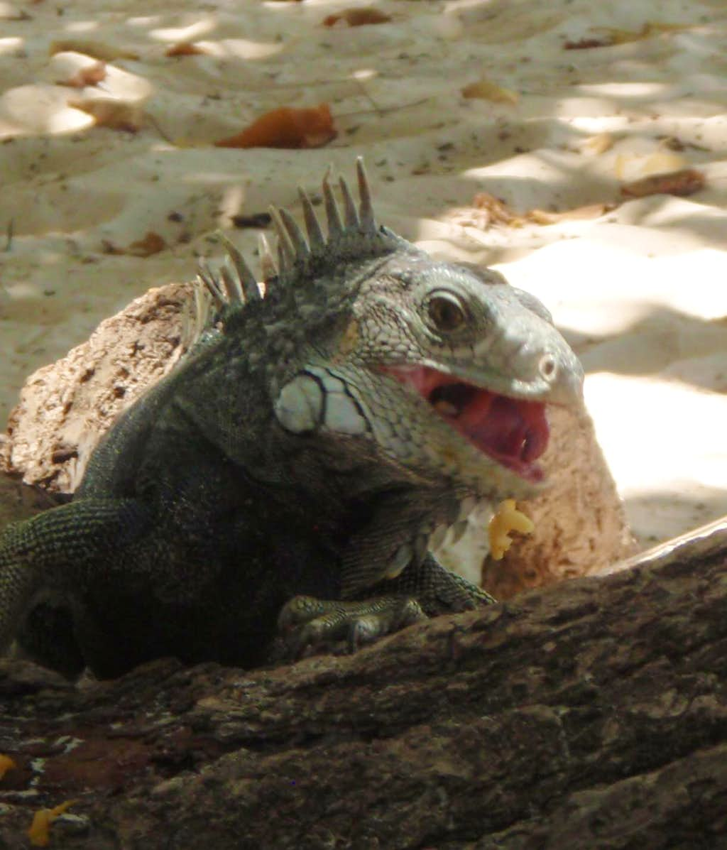 Laughing Iguana