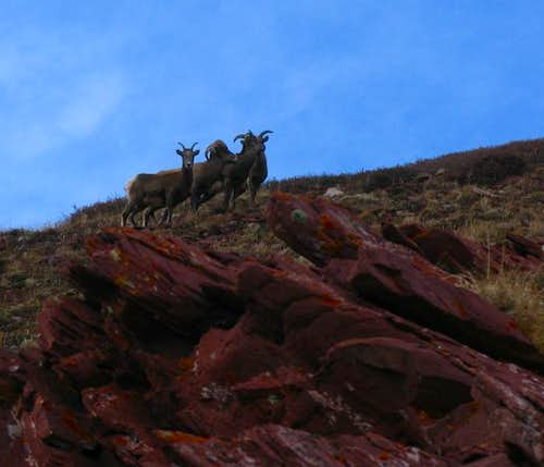 Big Horn Sheep, Red Peak