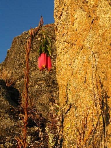 rima rima flower