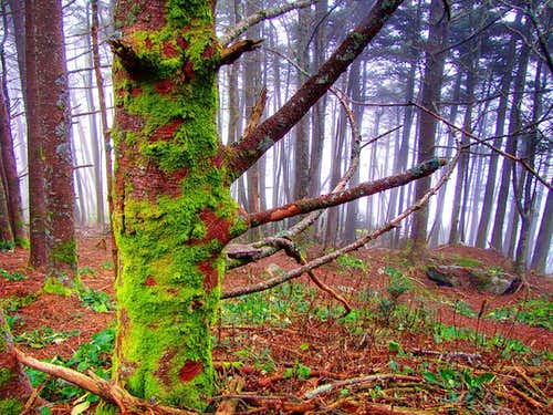 The awesome fir forest near the summit of Mount Mitchell