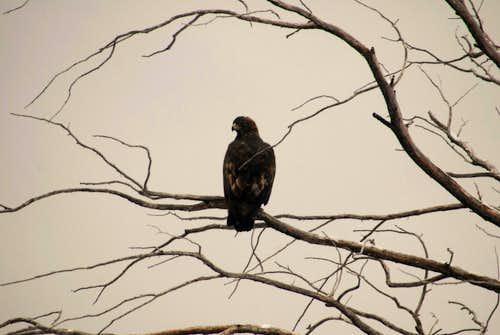 Eagle on Bunsen Peak