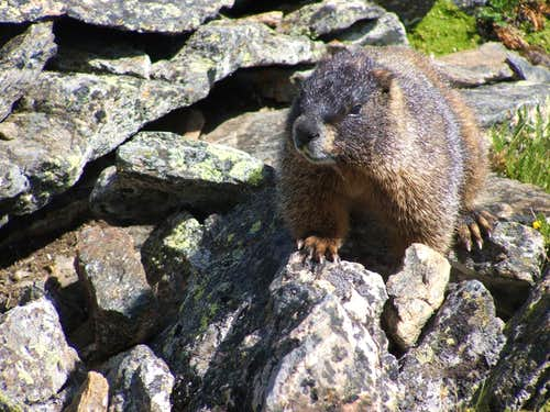 Leader of the Pack - Marmot on Chiquita