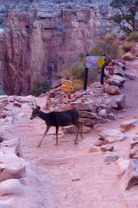 Mule deer on the trail