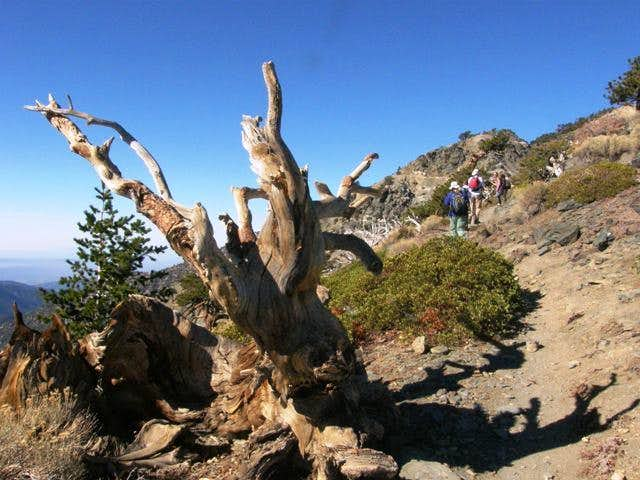 Old dead tree and hikers