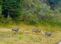 Sandia Mule Deer