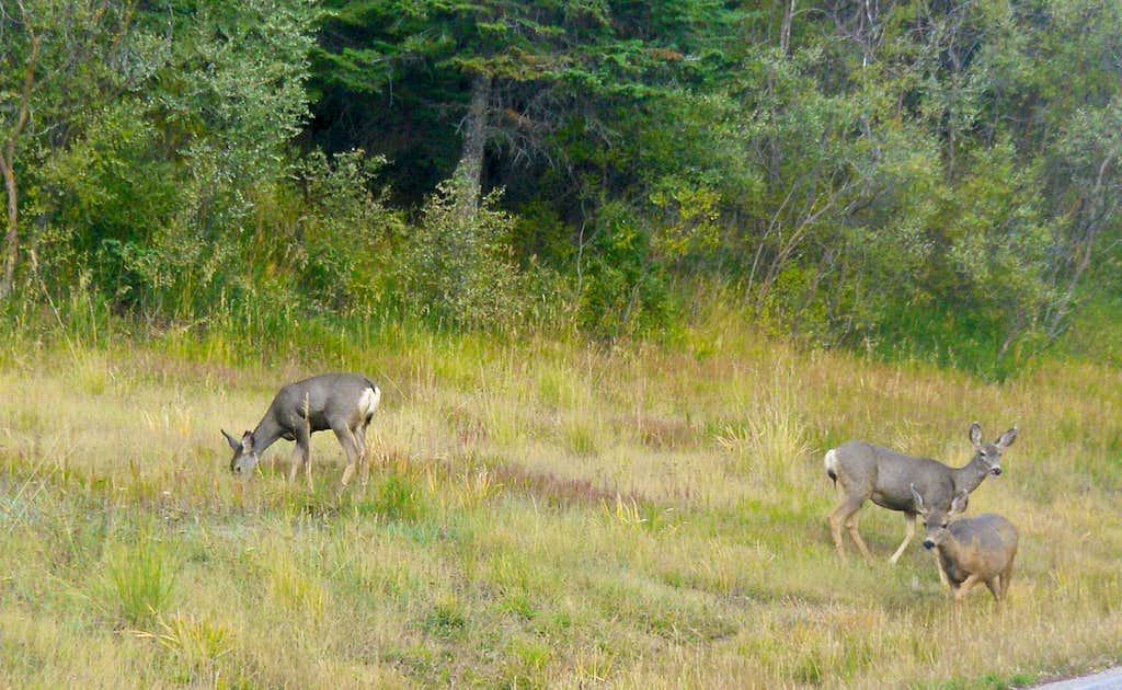 Sandia Mule deer 2