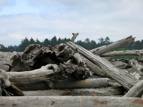 Biggest Driftwood I've Ever Seen