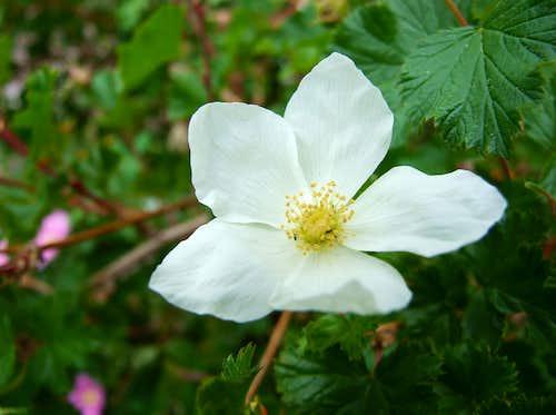 Flower In The Sangre De Cristos