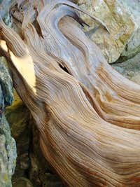 Red Cedar Roots
