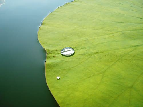 Lilly Pad