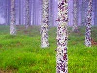 Lichen, Cranberry, Fog