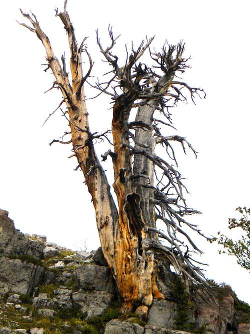 Limber Pine Snag