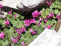 Cyclamen which can be found...