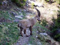 Bouquetin/Alpine Ibex