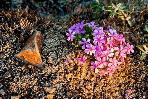 Summit Ridge Flowers