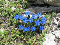Gentian on 2700 meters