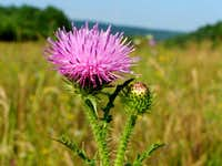 Inflorescence of Welted Thistle