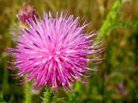 Flowers of Welted Thistle