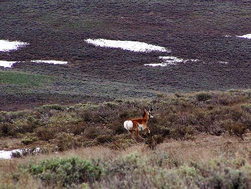 Pronghorn in full retreat