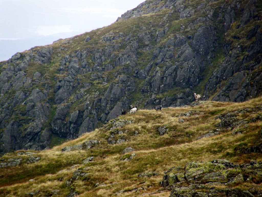 Mountain goats - Rhinns of Kells
