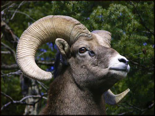 Rocky Mountain Bighorn Ram
