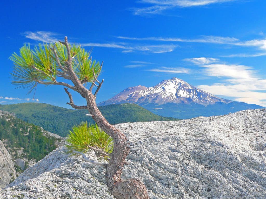 Small pine on rock and Mt. Shasta