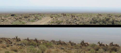 Pronghorns in Distance